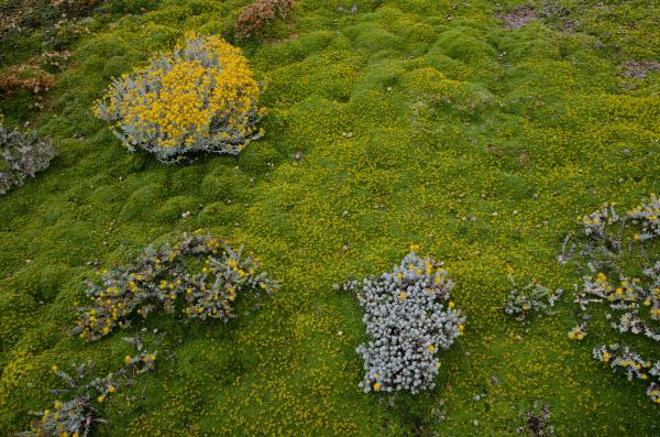 plants of senecio sp and