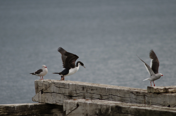 imperial shag and dolphin gulls in