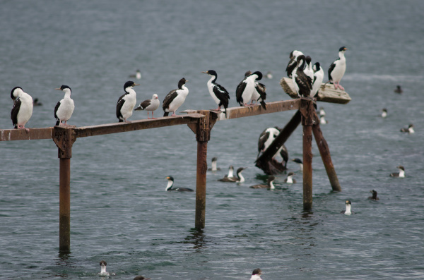 imperial shags in the coast of