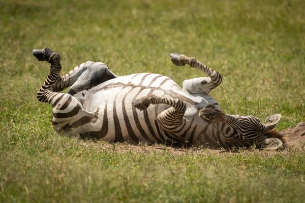 plains zebra enjoying dust bath on