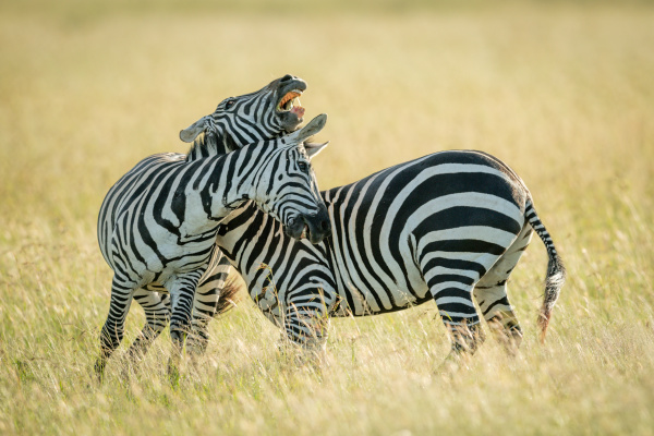 plains zebras play fighting in long