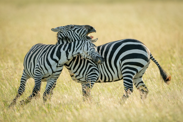 plains zebras play fighting in tall