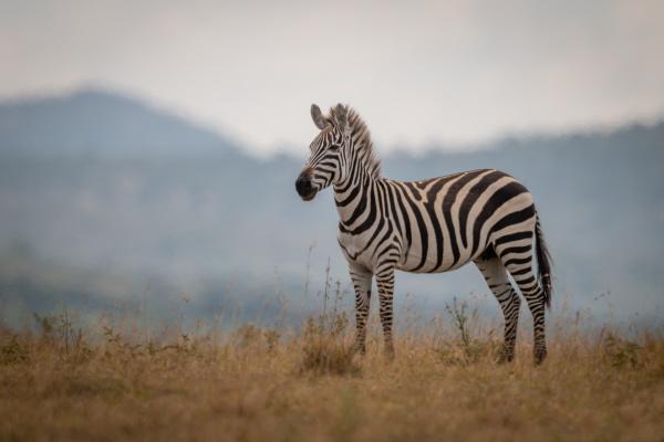plains zebra foal stands in long