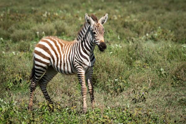 plains zebra foal stands in short