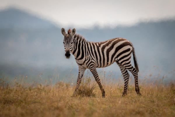 plains zebra foal walks in long