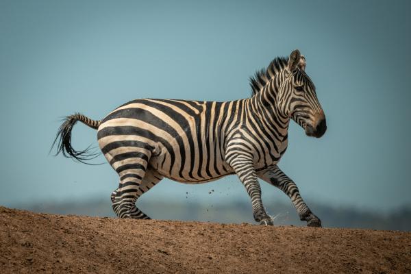 plains zebra gallops over ridge in