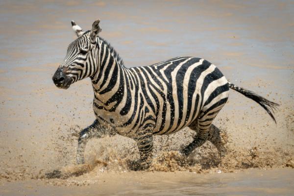 plains zebra splashes through shallow muddy