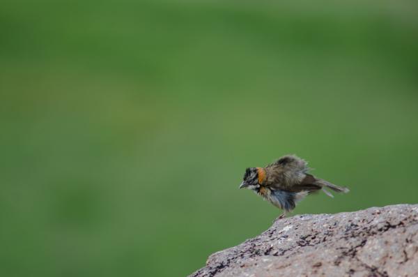 rufous collared sparrow zonotrichia capensis shaking