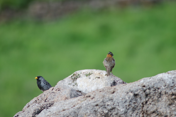 band tailed sierra finch and rufous