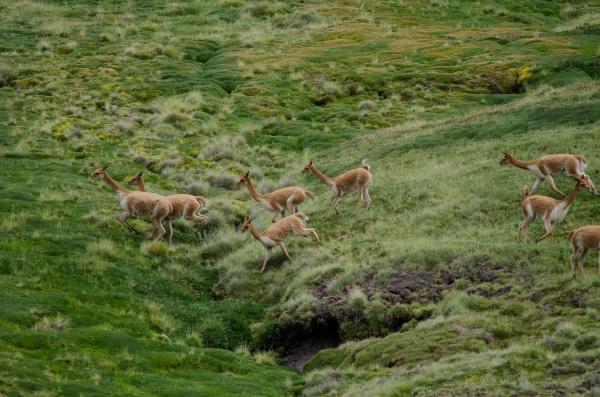 vicunas vicugna vicugna running in a