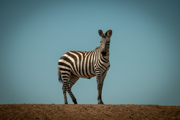 plains zebra stands facing camera on