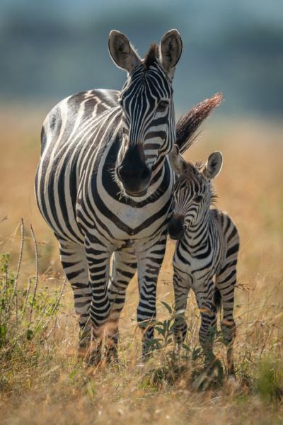plains zebra stands facing camera with