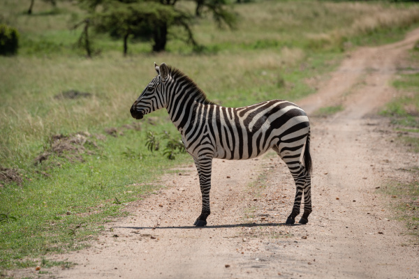 plains zebra stands on track in