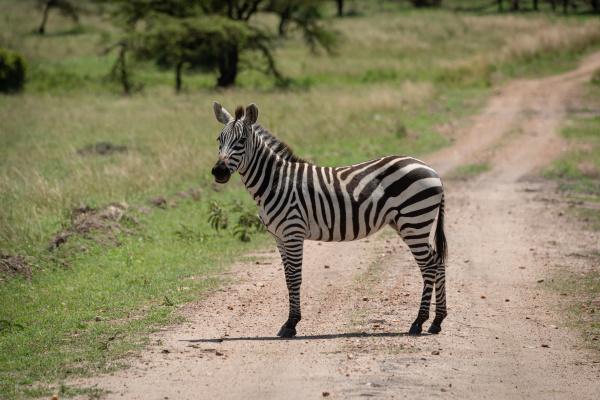 plains zebra stands on track turning