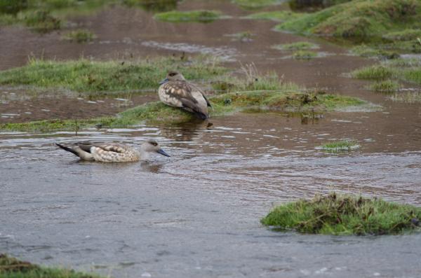 andean crested ducks lophonetta specularioides alticola