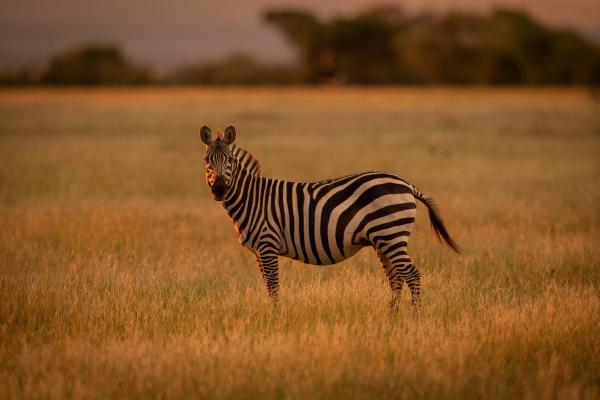 plains zebra stands rim lit by