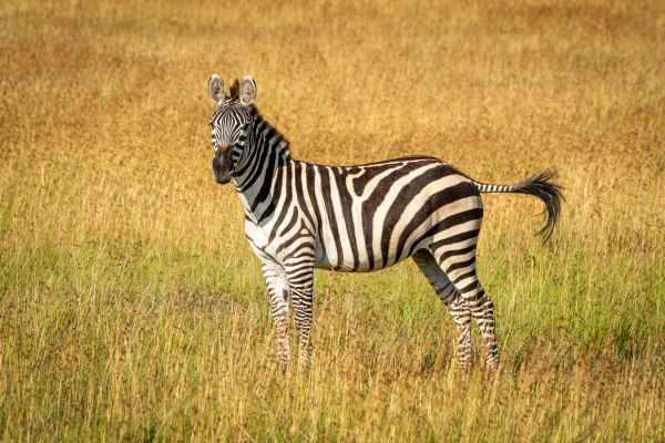 plains zebra stands flicking tail in