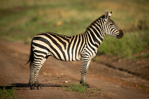 plains zebra stands in profile on