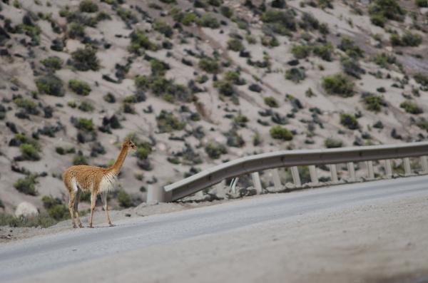 vicuna vicugna vicugna waiting to cross