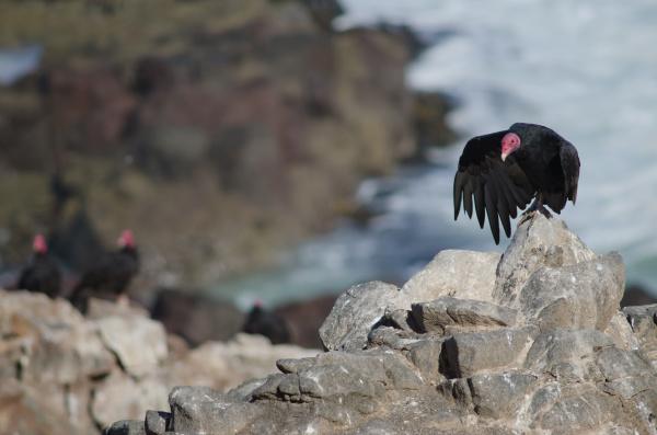 turkey vulture cathartes aura stretching one