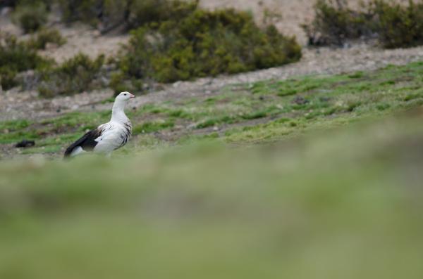 andean goose chloephaga melanoptera in lauca