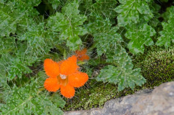 plant caiophora rosulata in flower in