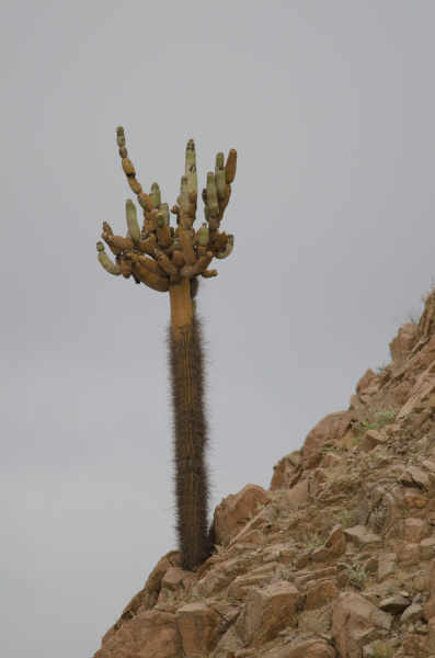 cactus, browningia, candelaris, in, the, arica - 28257732