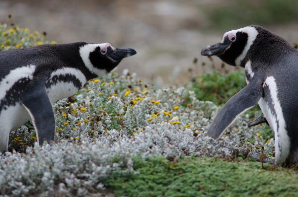 magellanic, penguin, in, the, otway, sound - 28257478
