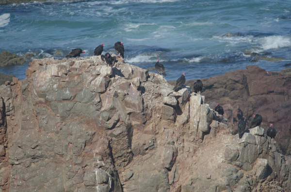 turkey vultures cathartes aura on a