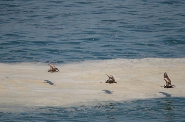 peruvian, pelicans, in, flight, over, the - 28258202
