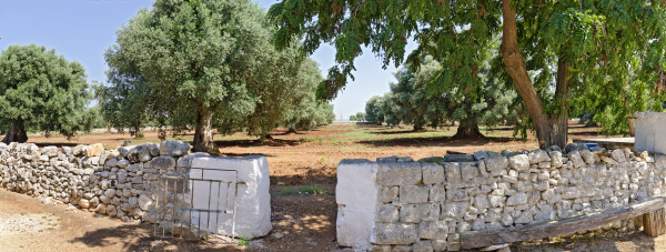 olive trees behind stone wall