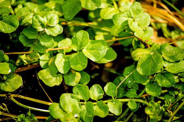 watercress fresh eatable herb and medicinal