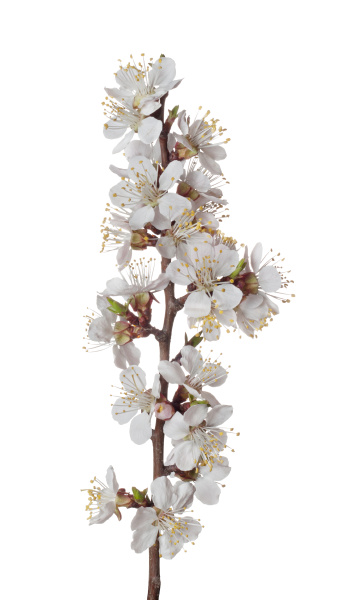 the branch of apricot with blossoming