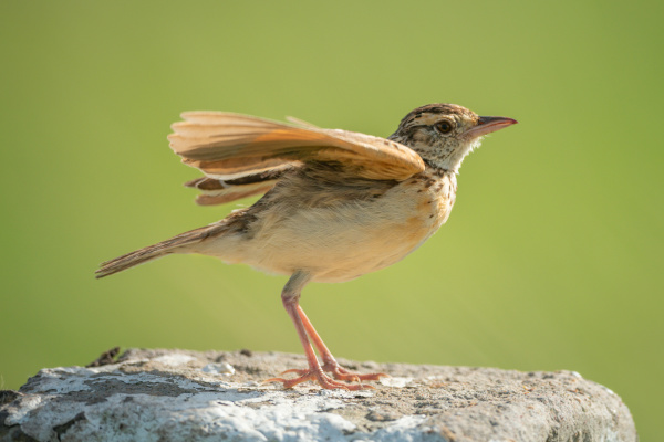 rufous naped lark flutters wings on