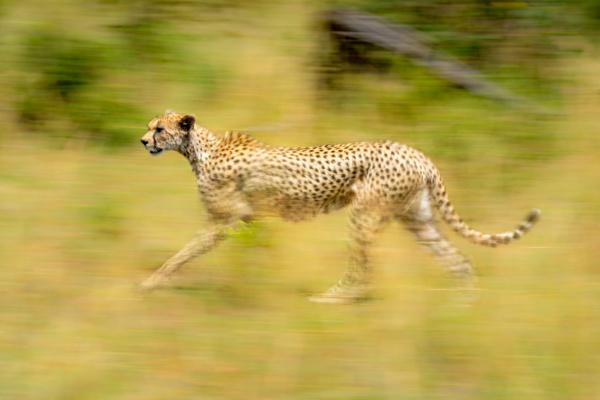 slow pan of female cheetah among