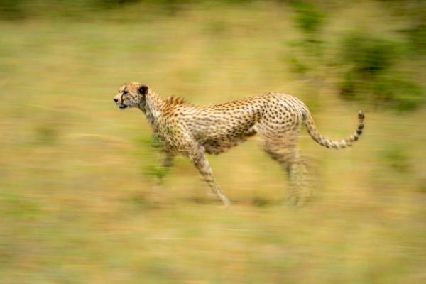 slow pan of female cheetah crossing