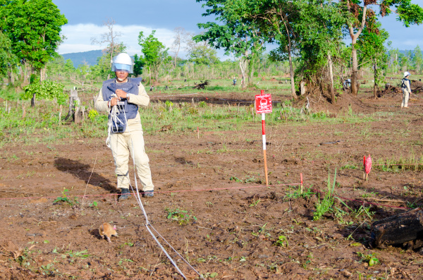 rats sniffing out landmines in cambodia