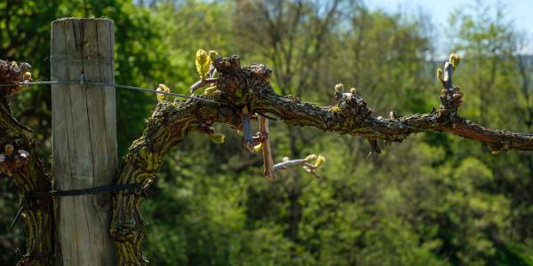 grapvevine with buds as pergola