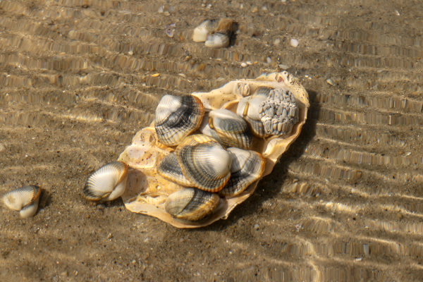 common cockles edible saltwater clams