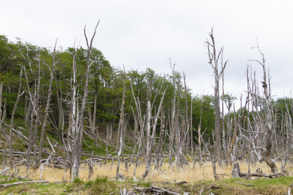woodland destroyed by beavers tierra del