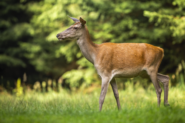 female red deer walking through tranquil