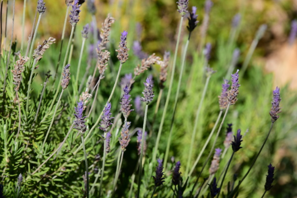 purple lavender flower in the province