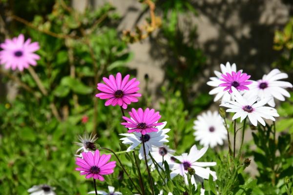 flowering daisies on the costa blanca