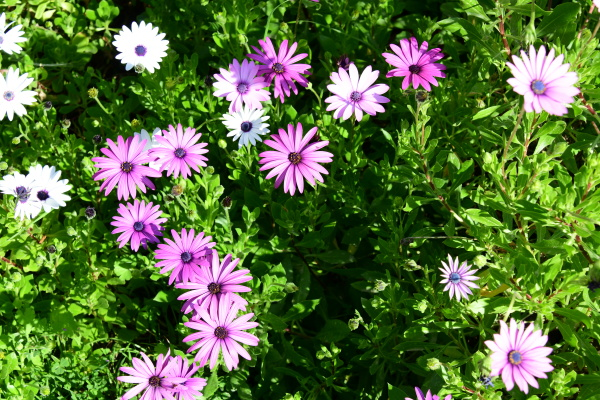 daisies in the province of alicante
