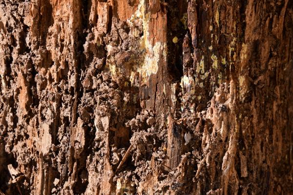 tree trunk eaten by termites in