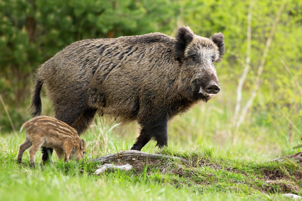 happy wild boar mother and little