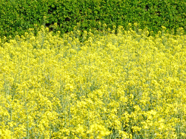 field of rape with flowers with