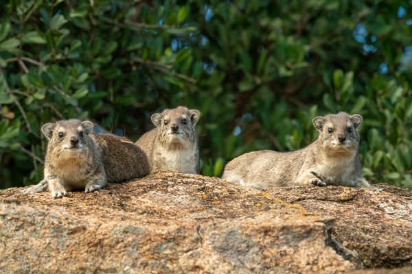 three rock hyrax on rock by