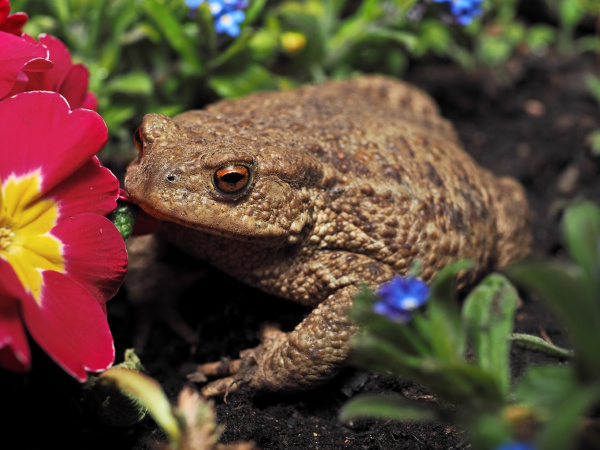 amphibian common toad bufo bufo