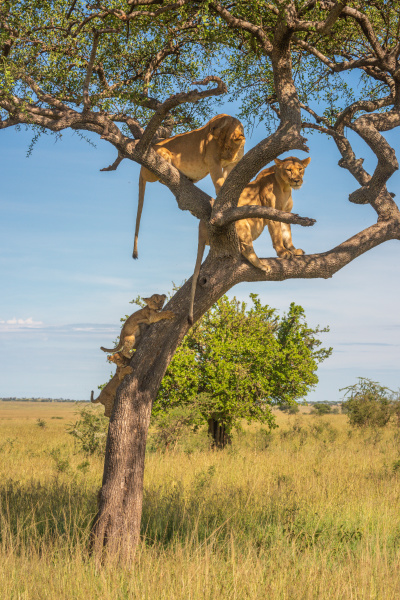 two cubs climb tree towards two
